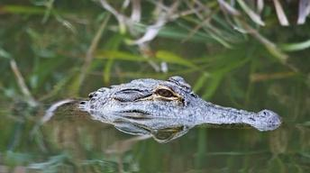 Alligators as Neighbors, the Sound of Science & Baby Brains