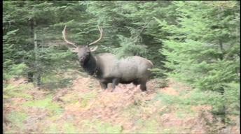 The Return of Elk