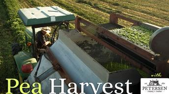Pea Harvest at Petersen Family Farm