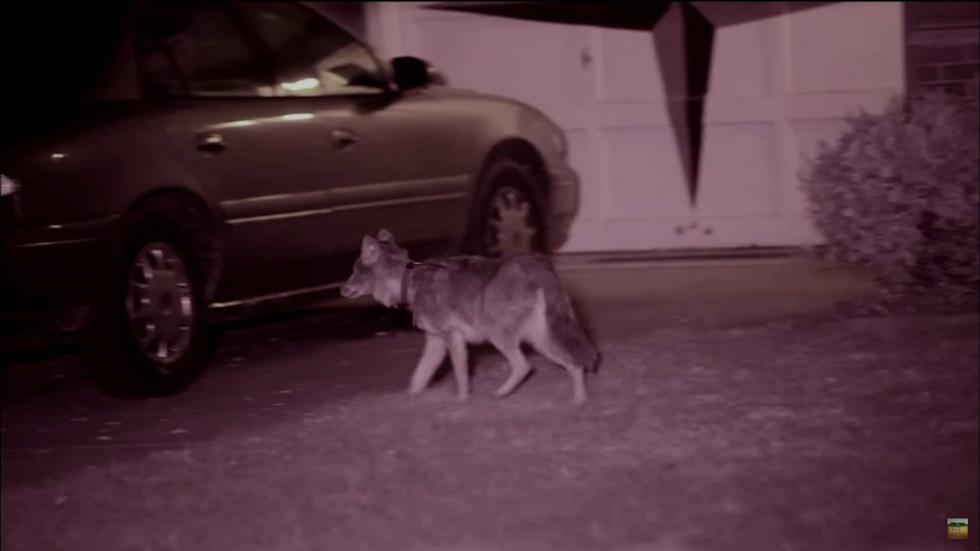 Why Are Coyotes Thriving in the Chicago Area? image