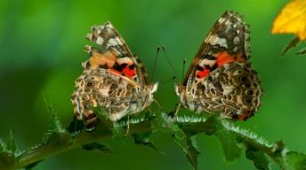 S36 Ep12: The Remarkable Way that Butterflies Mate