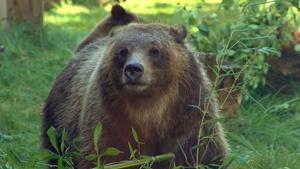 Zoo Grizzlies
