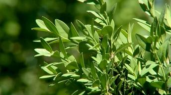 Plant of the Month: Boxwoods