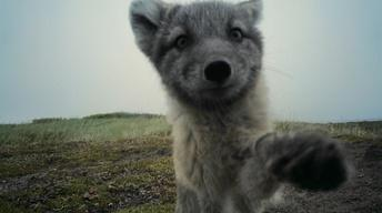 S36 Ep2: Arctic Foxes Break Filmmaker's Camera