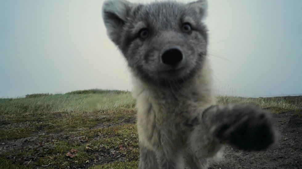 Arctic Foxes Break Filmmaker's Camera image