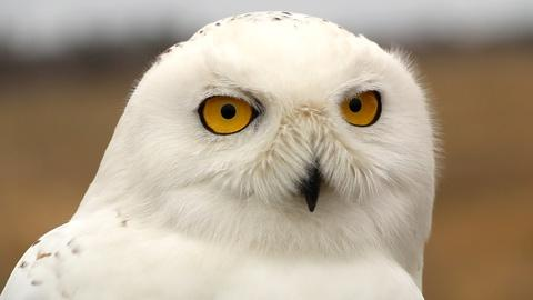 NOVA -- Saving Snowy Owls from Airplanes