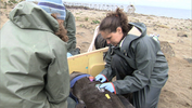woman attaching a tracking device to a seal