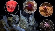 examples of organisms that live at deep sea vents