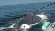 humpback whale being tagged