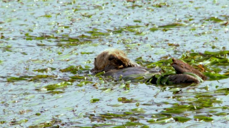 Big Blue Live: The California Sea Otter Makes a Comeback