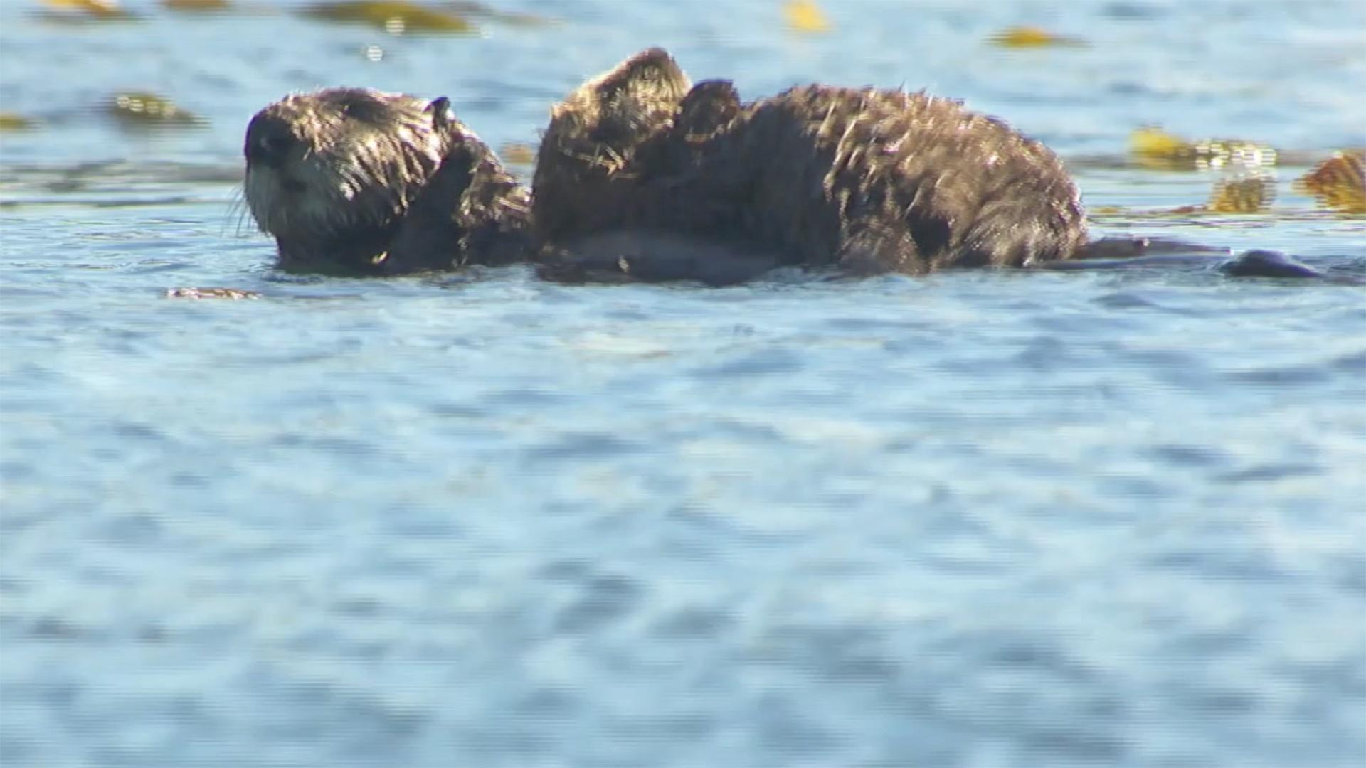 Bixby the Sea Otter