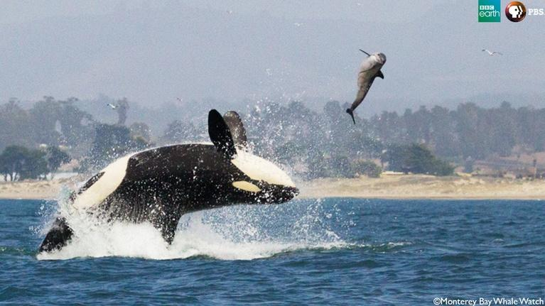 Big Blue Live: The Orca Hunt