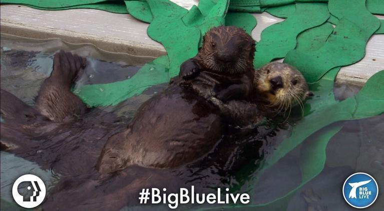 Big Blue Live: A Sea Otter's Adorable Adoption Story