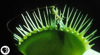 S3 Ep1: A Venus Flytrap Works Just Like Your Brain