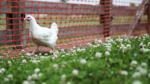 Season 2, Ep 11: Chicken Lickin'