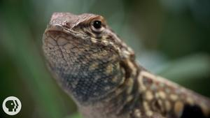 Lizards: A Game of Genetic Rock-Paper-Scissors