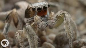 For These Tiny Spiders, It's Sing or Get Served