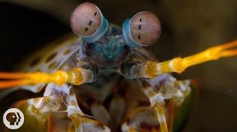 The Snail-Smashing Mantis Shrimp