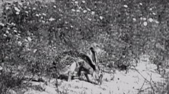 The Dust Bowl: Jack Rabbits