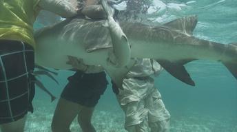 Lemon Shark Birth in Bimini, Bahamas