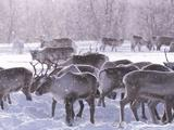 EARTH A New Wild | Reindeer Castration - Does It Still Happen?