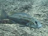 EARTH A New Wild | Wonderful Cichlids: Mouth Breeders