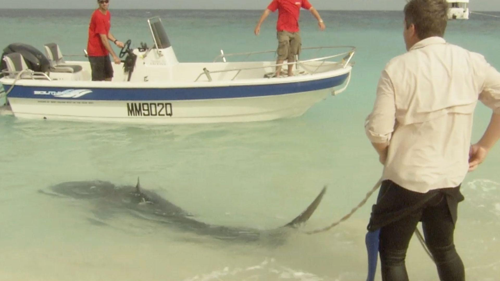 Shark Scientist Richard Fitzpatrick Tags a Tiger Shark