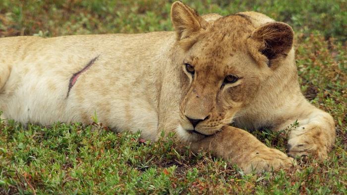 Gorongosa Park: Rebirth of Paradise Battle Lines/Roaring Back