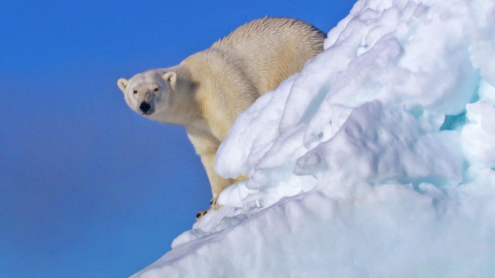 Scientific Feast For Polar Bear Studies