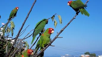The Wild Parrots of Telegraph Hill - Clip 2
