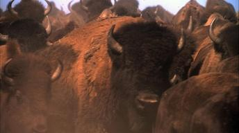 S13 Ep20: Is There Room for the American Bison in America An