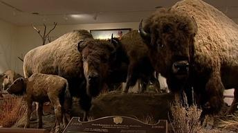 Nearing Extinction, the Buffalo Was Hunted for Posterity