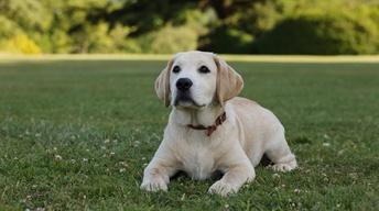 Downton Abbey, Final Season: Puppy Love