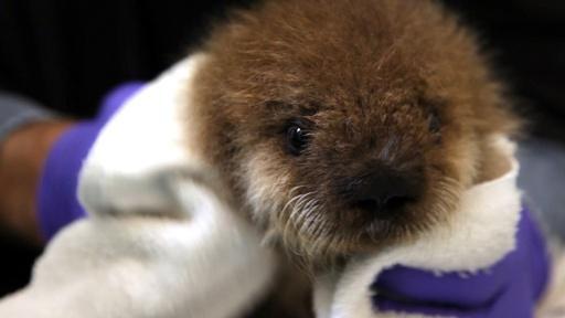 Saving Otter 501 Video Thumbnail