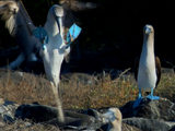 Nature | Dance of the Blue-Footed Booby