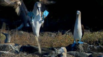 Dance of the Blue-Footed Booby