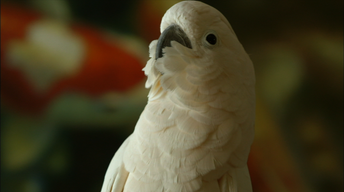 Meet Dolly, the Moluccan Cockatoo