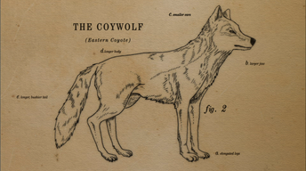 How the Coywolf is a Coyote/Wolf Hybrid
