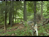 Nature | Field Study: The Coywolf and its New York City habitat
