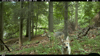 Field Study: The Coywolf and its New York City habitat