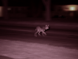 Nature | Field Study: The Original Coyote and its Chicagoland habitat