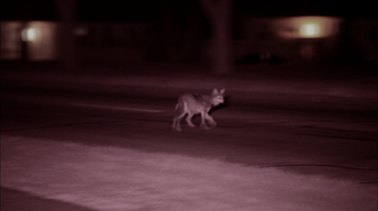 Field Study: The Original Coyote and its Chicagoland habitat