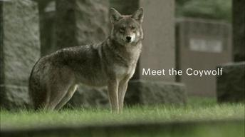 Meet the Coywolf