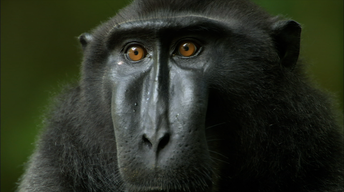 S31 Ep4: Life Inside a Crested Black Macaque Troop
