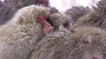 Trailer: Snow Monkeys
