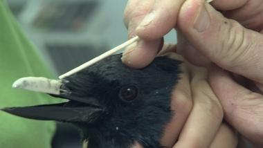 Injured Crow Gets a New Acrylic Beak