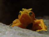 Nature | Golden Frogs Make Waves