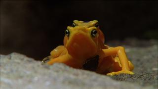 Golden Frogs Make Waves