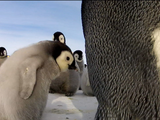 Nature | Penguins: Spy in the Huddle - Part 1