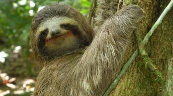 S33 Ep1: Three-toed Sloth: The Slowest Mammal On Earth